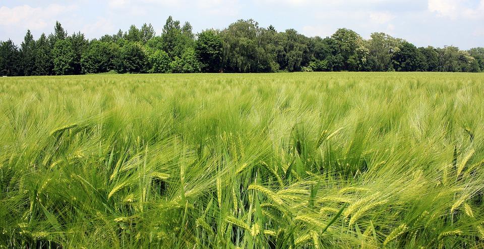 barley fields by nitrok - photo #15