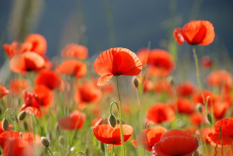 free photo poppy, poppy flower, flowers, red  free image on, Beautiful flower