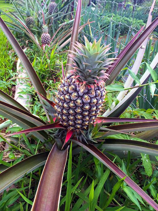 Pineapple fruit plant