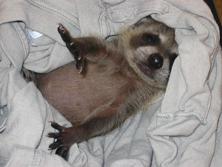 Baby Raccoon Kit Raccoon Baby Raccoon Racc