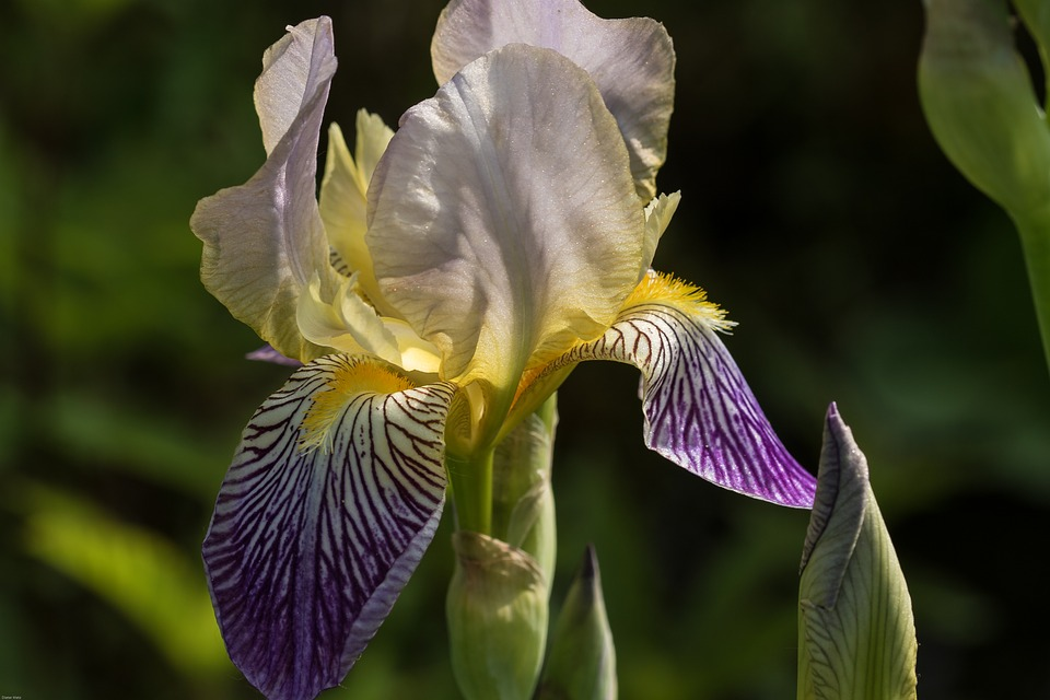 free photo iris, flowers, ornamental plant  free image on, Natural flower