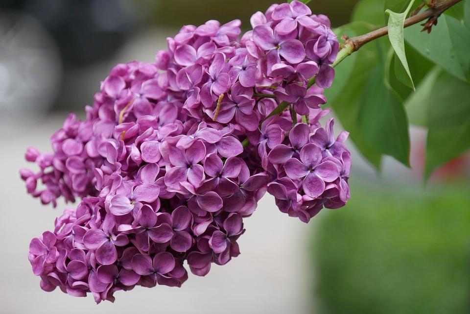 free photo  lilac  blossom  bloom  spring