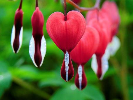 Blossom, Bloom, Bleeding Heart, Flower