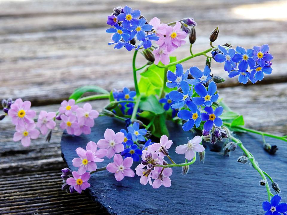 Forget me not flowers blue free photo on pixabay forget me not flowers blue pink pointed flower mightylinksfo Choice Image