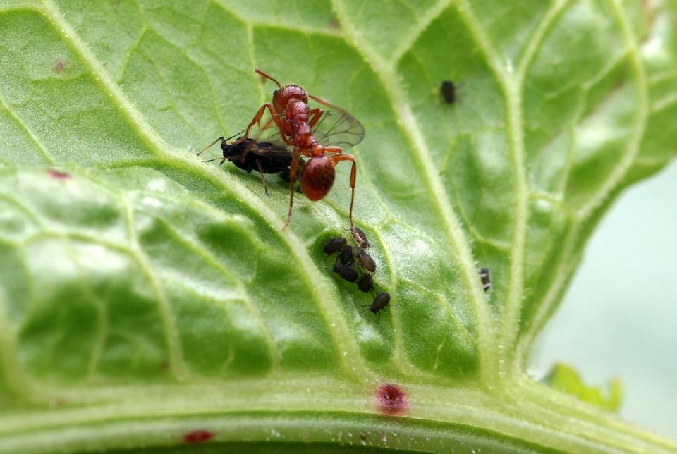 Hormiga Roja Del Jardín Myrmica · Foto gratis en Pixabay