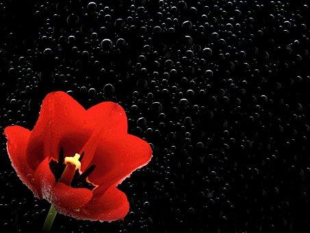 Červený Tulipán Fotky - Stiahnite si obrázky zdarma - Pixabay