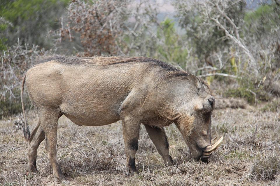 76 Gambar Babi Hutan Paling Hist