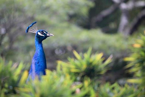 クジャク, 動物, 鳥, 孔雀, 羽, 青, 緑, 尾, 動物相, 動物園