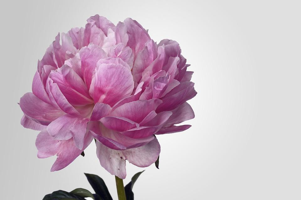 Peony, Bloesem, Roze, White, Het Voorjaar, Bloem