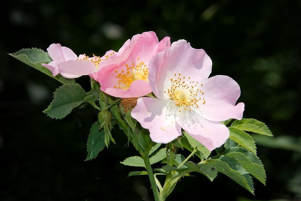 free photo wild rose bush rose blossom free image on pixabay 1428340. Black Bedroom Furniture Sets. Home Design Ideas