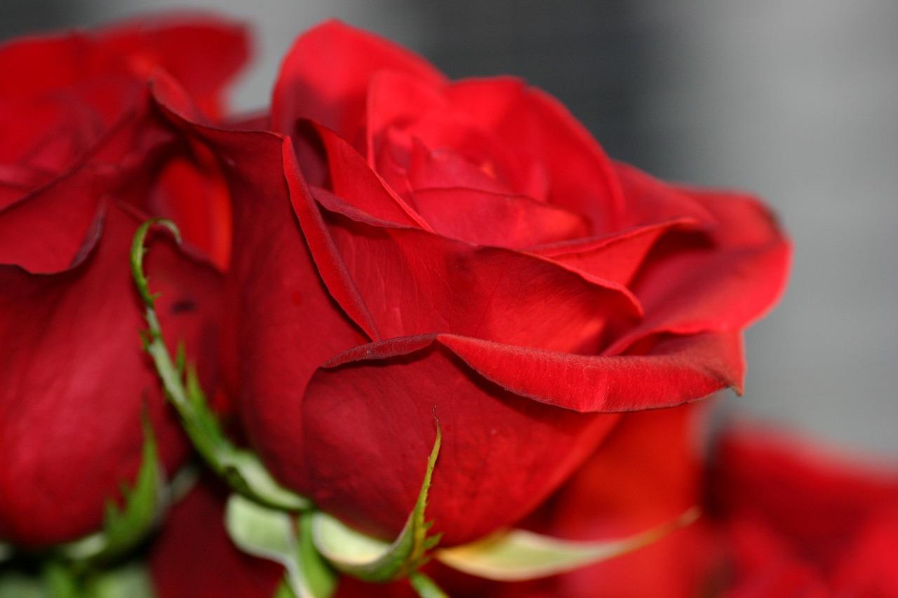 Картинка роза про любовь, животными надписи ним