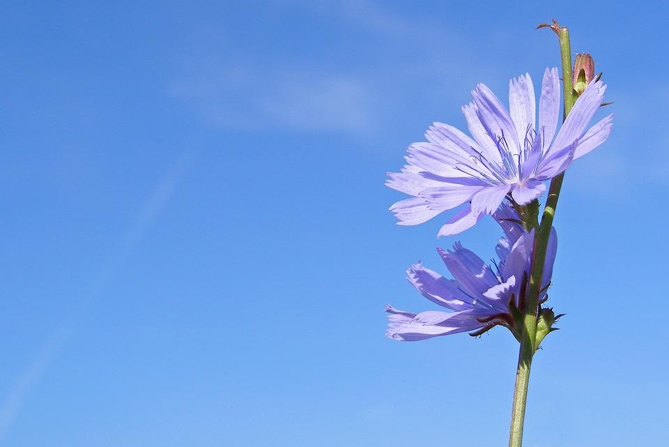 Cicoria, Fiore, Blu, Cichorium Intybus, Estate