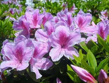 皐月, 五月, サツキ, 花, ピンク, 赤紫, 蕾, 葉, 緑