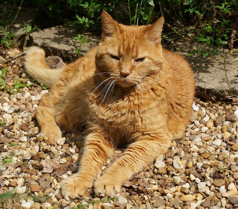 オレンジ色の猫のひなたぼっこ 猫 ネコ Pixabayの無料写真