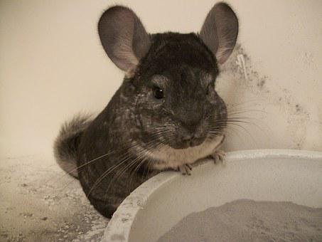 Chinchilla, Grey, Gray, Standard, Pets