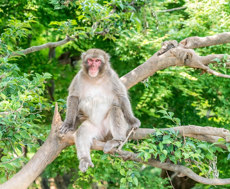 Japan, Arashiyama, Kyoto, Monkey Park, Monkey Sitting