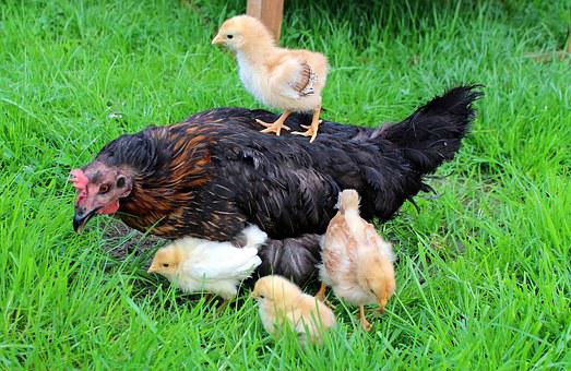 Chicks, Yellow, Mother Hen, Hen