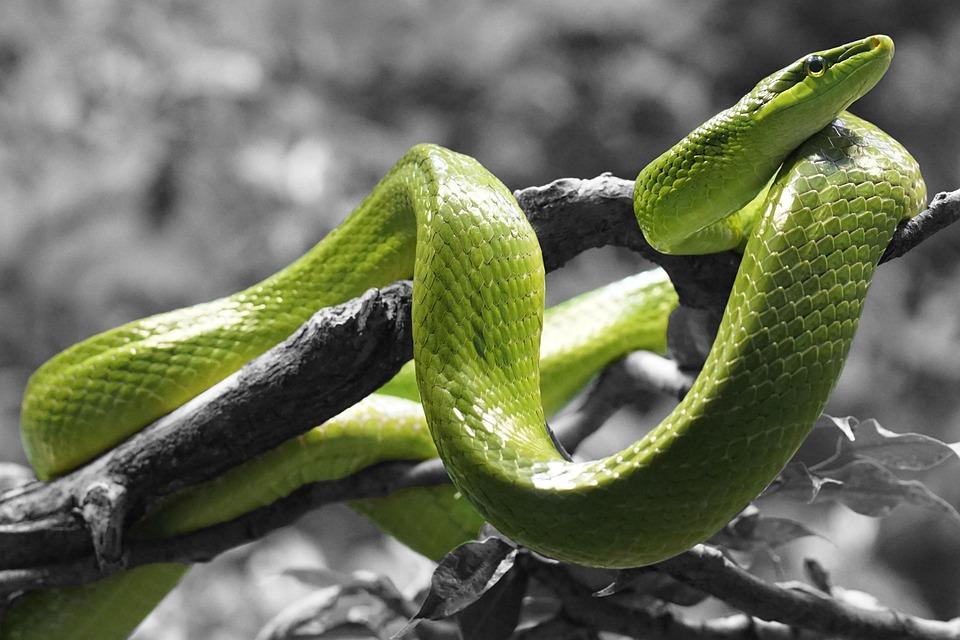 Schlange, Reptil, Ringelnatter, Schuppen, Colordash