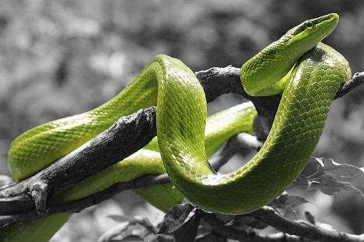 งู, สัตว์เลื้อยคลาน, หญ้างู, ขนาด, สีประ
