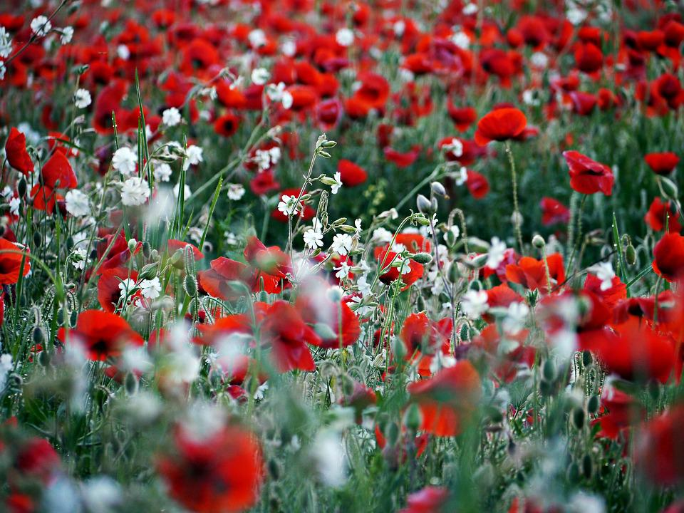 Poppy Red White Field Floral Background