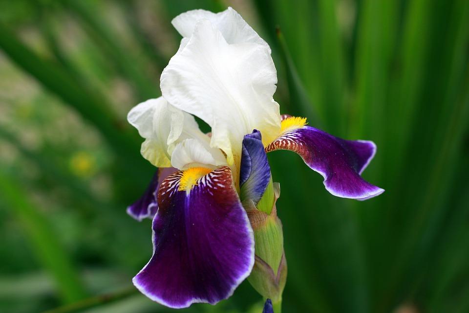 Iris Weiß Gelb · Kostenloses Foto auf Pixabay