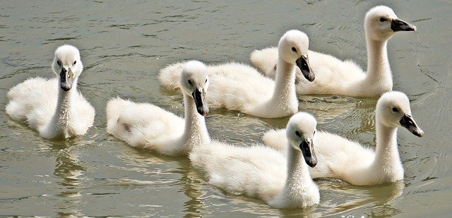 Swan Baby Swans 183 Free Photo On Pixabay
