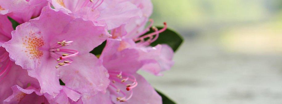 Pink azaleas images pixabay download free pictures azalea flower flowers plant bright rhodode mightylinksfo