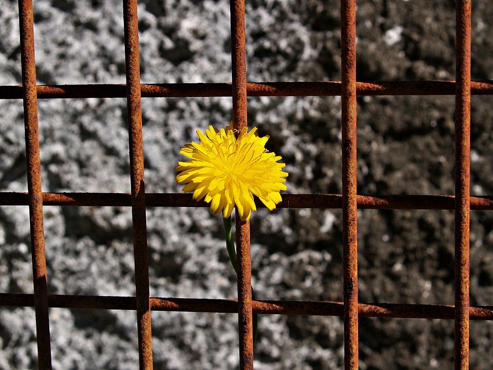 Gänseblümchen Gelb Rostiges Metall · Kostenloses Foto auf Pixabay