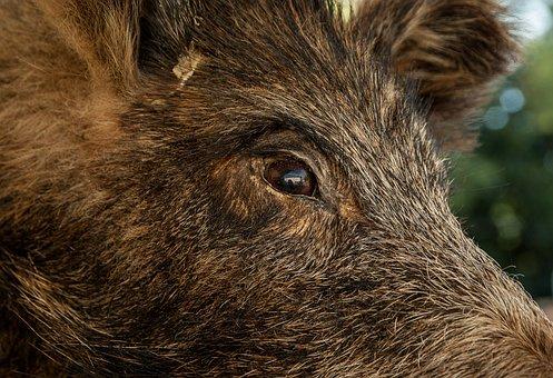 300+ Free Wild Boar & Boar Images - Pixabay