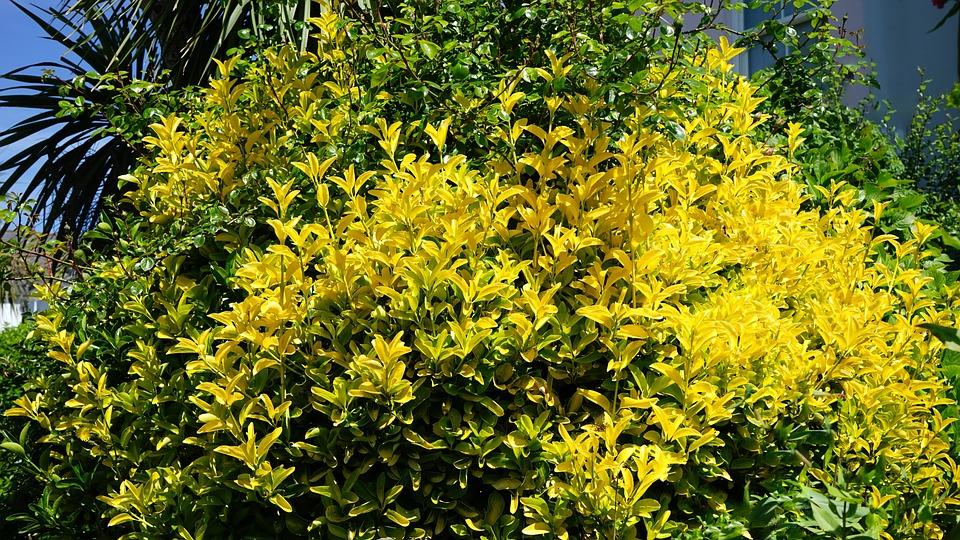 Yellow bush plant free photo on pixabay yellow bush plant flower nature green outdoors mightylinksfo