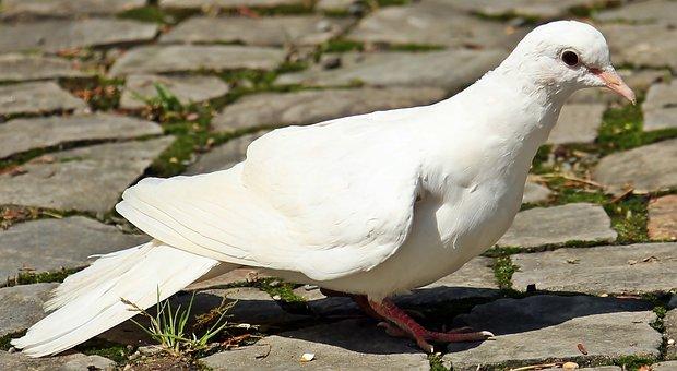 Güvercin Resimler Pixabay ücretsiz Resimleri Indir