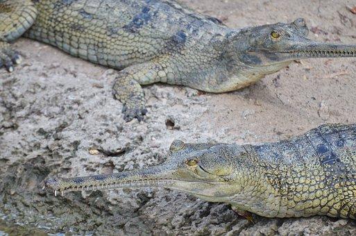 Gharial, Crocodile, Reptile, Ganges