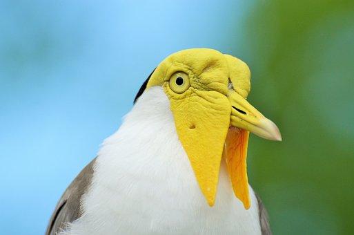 Lapwing Masked Australian