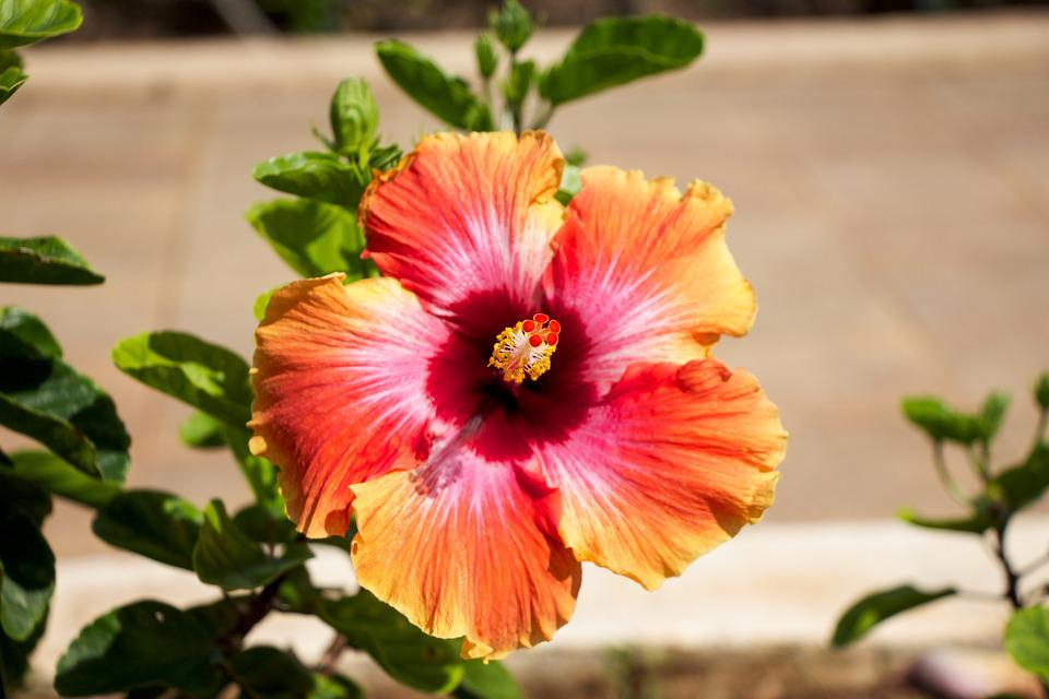 hawaiian  free images on pixabay, Beautiful flower