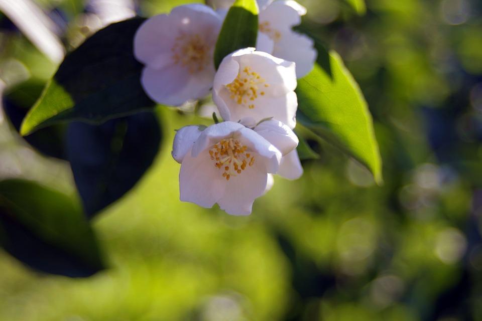 White flowers cream the sweet free photo on pixabay white flowers cream the sweet smell of jasmine mightylinksfo