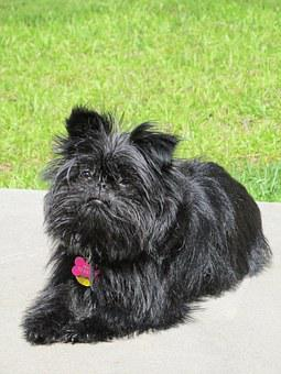 Teacup Affenpinscher Puppies For Sale in California, CA