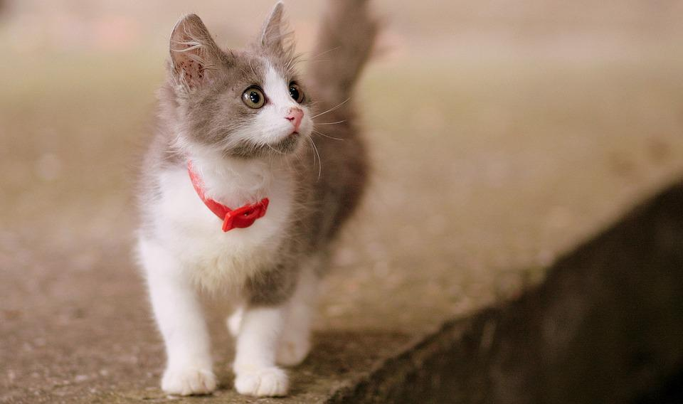 Cat small cute free photo on pixabay cat small cute pete voltagebd Image collections