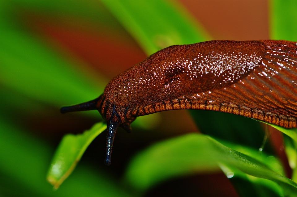 Snail, Slug, Garden, Pest, Nature, Animal, Brown