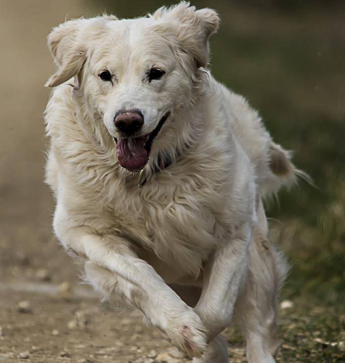 Golden Retriever Beyaz Köpek Pixabayde ücretsiz Fotoğraf