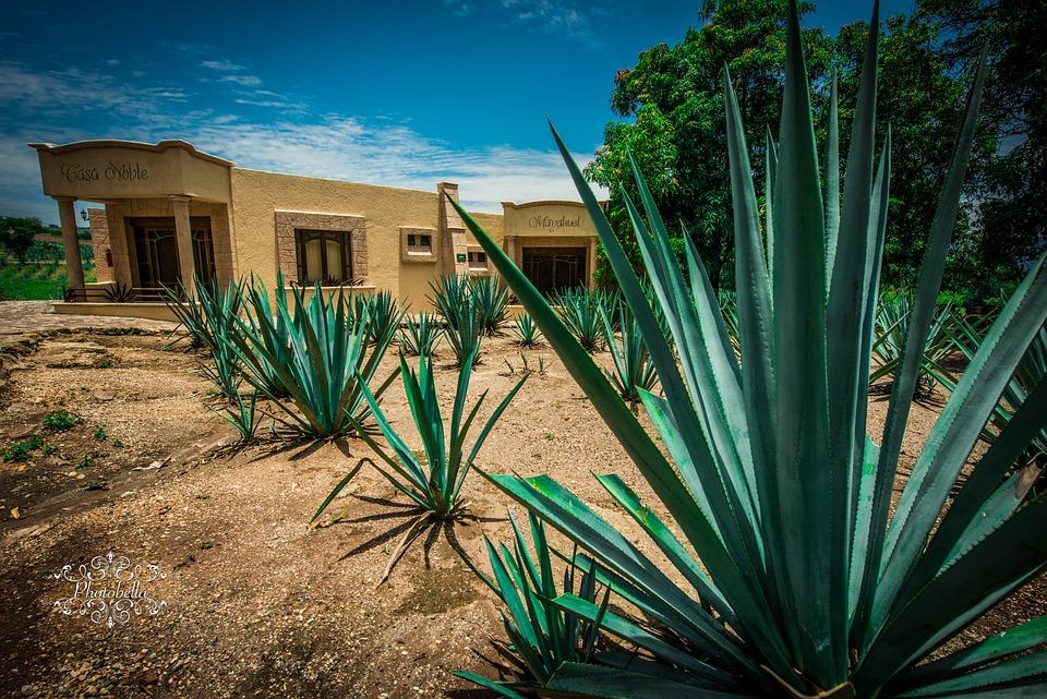 リュウゼツラン, テキーラ, メキシコ, グアダラハラ, アルコール, 植物, 緑, ドリンク, カクテル