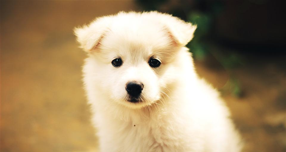 free photo dog puppy cute adorable pet free image