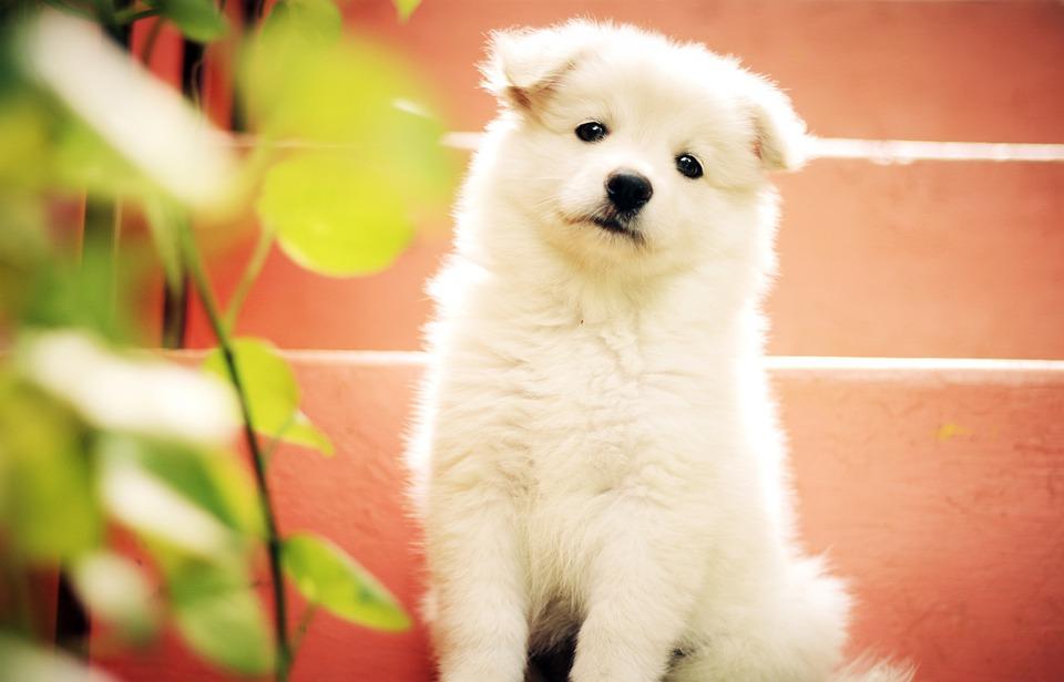 Pies, Szczeniak, Ładny, Godny Podziwu, Pet, Cute Puppy