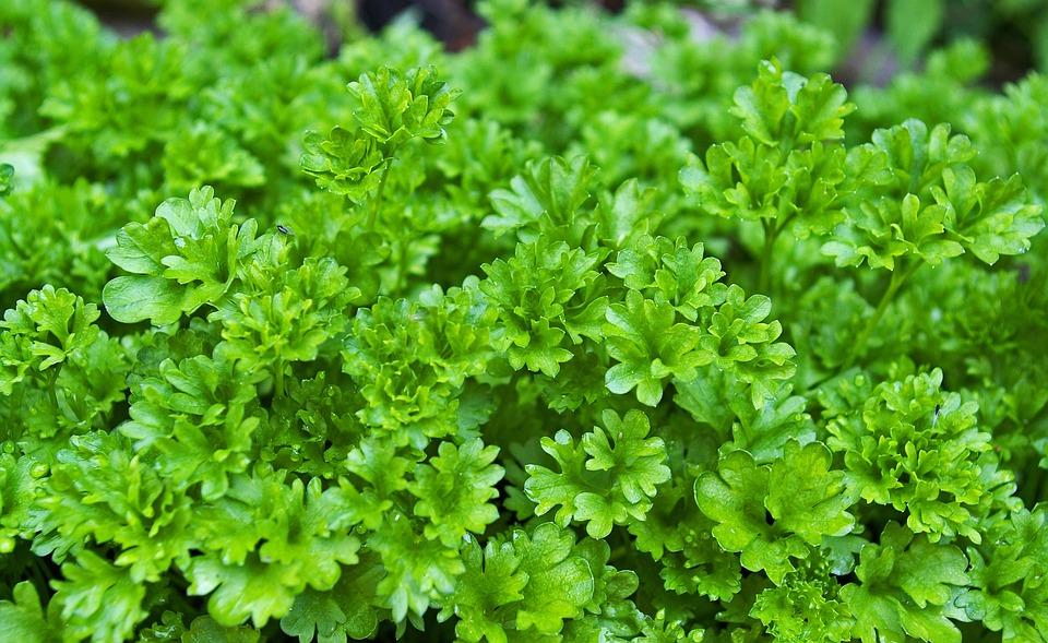 Persil Herbes Plantes - Photo gratuite sur Pixabay