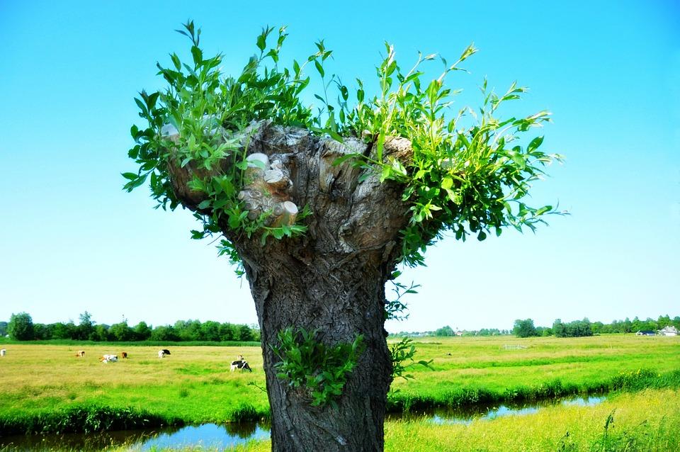 Weide Pollard Baum Kostenloses Foto Auf Pixabay
