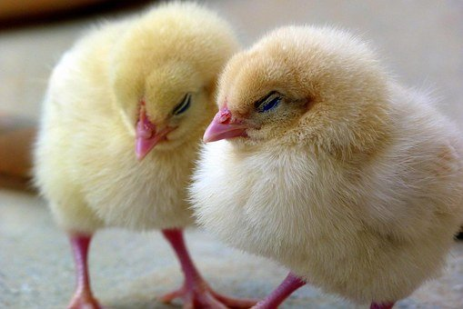 Chicks, Chick, Chicken, Bird, Baby