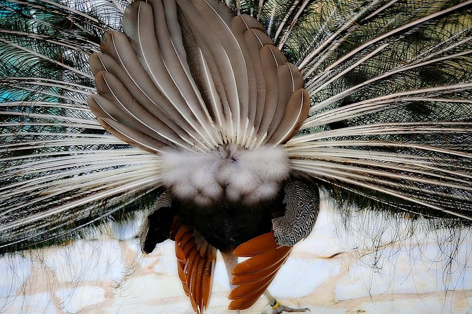 640+ Gambar Burung Merak Yang Mudah Gratis Terbaru