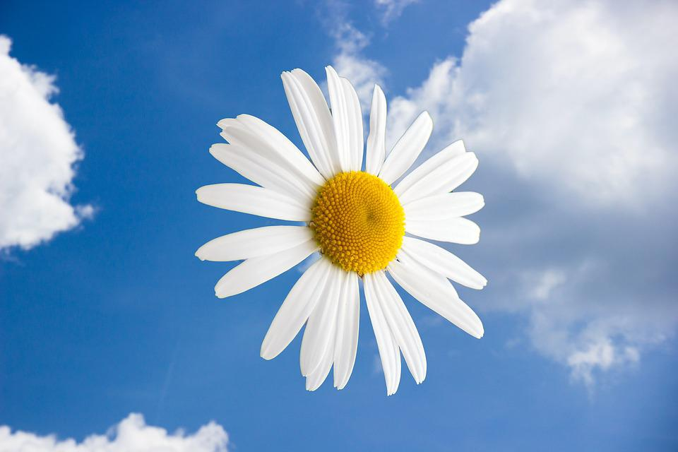 Free photo: Margriet, Flowers, Flower, Clouds - Free Image