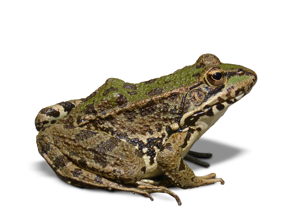 Frog Batrachian Transparent 183 Free Photo On Pixabay
