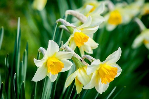 Daffodil Flower Nature Spring White Yellow