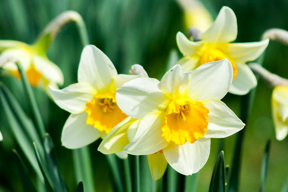 Daffodil flower nature free photo on pixabay daffodil flower nature spring white yellow flower mightylinksfo